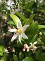 檸檬の花1_m.jpg